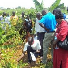 Farmers examine their plants in the fields.